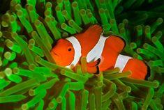 clownfish-anemone-e1352722448405.jpg 422×284 pixels