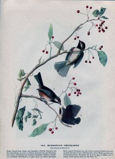 Old 1941 Antique Vintage Book JOHN JAMES AUDUBON Birds of America Bookplate of Water-color Painting Plate Hudsonian Chickadee 194