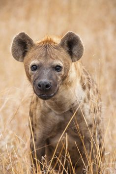 Female spotted hyena ( Crocuta crocuta ) and mother of two cubs that were close by showing her protective attitude with a threatning stare. Image captured in Kruger, South Africa by Mario Moreno