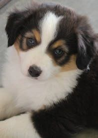 Frances our newest Miniature American Shepherd.