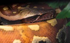 Python Curtus I by OrangeRoom on DeviantArt