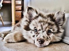This is a pomland. It a mix of pomeranian and shepherd shetland.