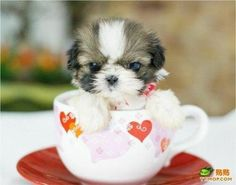 Oh my goodness! Talk about a teacup shih tzu. Although this one looks more like a soup mug shih tzu. Tiny Puppies, Teacup Puppies, Cute Dogs And Puppies, Little Puppies, Little Dogs, Doggies, Teacup Shih Tzu, Adorable Puppies, Corgi Puppies