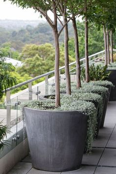 Olive trees, note grey tones with Dichondra repens 'Silver Falls'