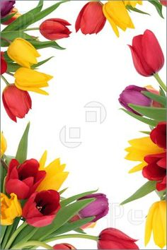 Purple tulip border with a row of fresh cut spring flowers arranged along the right side of the frame isolated on white. Description from dreamstime.com. I searched for this on bing.com/images