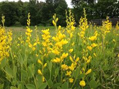 Yellow Wild Indigo! Baptisia sphaerosephalon; Glorious yellow spikes make cool brown bead pods later in the summer.