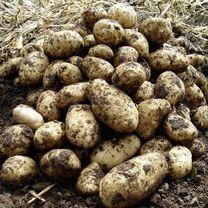 Seed Potatoes - Maris Peer - Seed Potatoes - 3 for - Veg Offers - View All Offers - Gardening Potato Gardening, Planting Potatoes, Potato Varieties, Sutton Seeds, Garlic Seeds, Yellow Potatoes, Potato Onion, Potato Vegetable, Arran