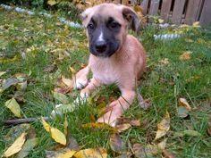 Boxer German Shepard... My kind of dog