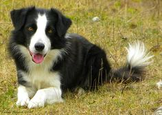 Border collie by Lukas Flajnik, via Flickr
