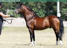 Welsh Pony of Cob Type (section C) - stallion Rytterbjergets Infinity