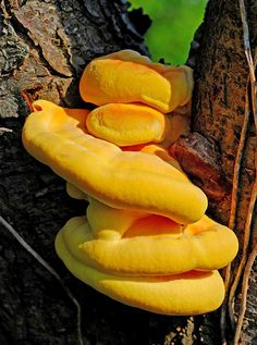 Laetiporus sulphureus is a species of bracket fungus (fungus that grows on trees) found in Europe and North America.