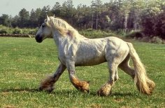 """Poitevin horse. Also called Mulassier, (""""mule-breeder""""), Poitevin mulassier or Trait mulassier. A draft horse from the Poitou area of France."""