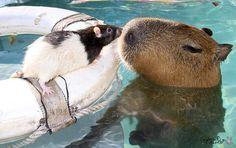 他の動物と仲良しのカピバラ06