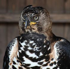 Crowned Eagle (Stephanoaetus Linnaeus, 1766). It is a bird of prey in the family Accipitridae found in Africa    'Photo comes from The World of Raptors'  via Birdcam Italia FB