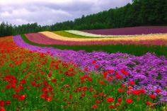 Field of Dreams  Furano, Japan