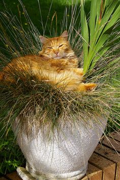 The Grass Cat grows abundantly with little watering. Cute Cats And Kittens, I Love Cats, Crazy Cats, Ragdoll Kittens, Bengal Cats, Adorable Kittens, Kitty Cats, Beautiful Cats, Animals Beautiful