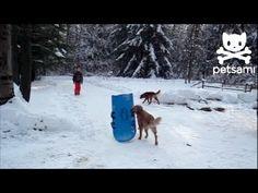 Golden Retriever has a snow day. #goldenretriever #funny #funnydogs