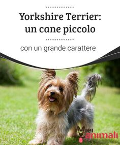 Yorkshire Terriers, Dog Treats, Grande, Mundo Animal, Yorkies, Dogs, Pet Dogs, Dog Things, Dog Cat