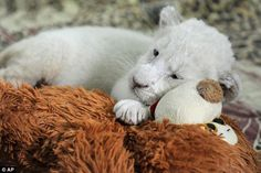 White lion cubs born Germany | ... -rare white lion cubs are born in captivity to tawny-coloured parents