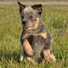 Blue Heeler Puppy...SO ADORABLE!!!