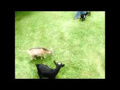 I laugh every time!!! PARKOUR GOAT! Buttermilk the goat jumps over friends :)