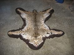 Taxidermy Bobcat rug mount open mouth new log home cabin decor sporting goods $485