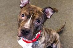 Petango.com – Meet GARY, a 4 years 2 months Terrier, Pit Bull / Mix available for adoption in NEW YORK, NY