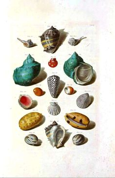 Sea shells, color plate. vintageprintable.com/wordpress/