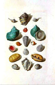 http://vintageprintable.com/wordpress/wp-content/uploads/2010/08/Animal-Curiosity-Sea-Shell-2.jpg