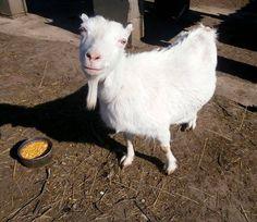 Gizusunk :) Ő adja a legtöbb tejecskét Goats, Animals, Animales, Animaux, Animal, Animais, Goat