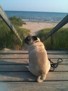 This is perfection...puglet...seagrass...big water...sand.....perfection.....