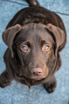 Chocolate Labrador More