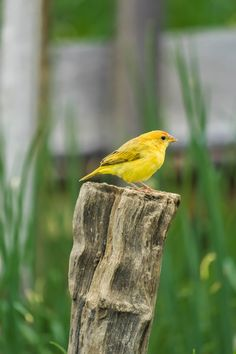 Picture of a canary bird.