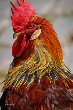 Roosters are so beautiful.  They have natural confidence and attitude.  Men take note.