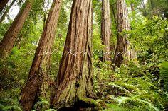 "Fine Art Print, Muir Woods, California, Nature Photography, Forest, Tree - ""Tree Jungle"""