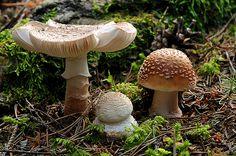 Amanita on BoGi-Photo © Amanita Rubescens, Mushroom Pictures, Mushroom Fungi, Nature Drawing, Enchanted, Nature Photography, Stuffed Mushrooms, Graphics, Dreams