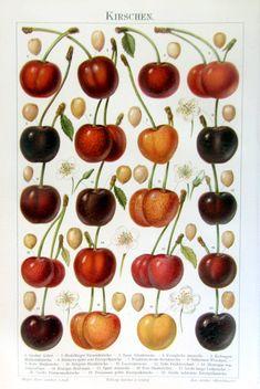 1895 antique cherries fruits print original by LyraNebulaPrints, $24.95