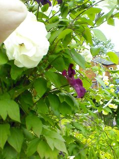 Iceberg rose with Rouge Cardinal clematis
