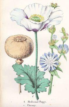 medicinal poppy