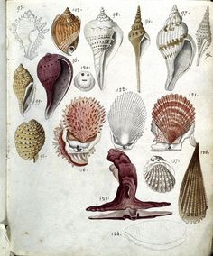 llustrations of shells from a late 18th century manuscript containing drawings copied from Buffon's Histoire naturelle: a vast survey of the natural world, published from 1749 onwards.
