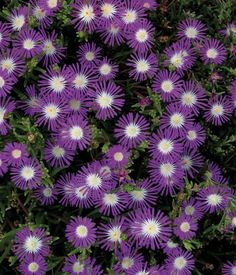 STARDUST Hardy Ice Plant Seeds Delosperma floribunda  Vigorous, long-flowering plants that tolerate heat, humidity and drought. Quickly covers hot, dry areas with thick, 6 inch tall, 1 foot wide mat of succulent foliage. Two inch violet flowers with white centers appear in late spring and continue into autumn. A stunning plant, perfect for massing, or use in sunny patio pots or window boxes. Winter hardy to zone 5. Seed is pelleted for easy and efficient sowing.