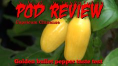 Capsicum Chinense, Buy Seeds, Pepper Plants, Permaculture, Harvest, Gardening, Stuffed Peppers, Yellow, Mini