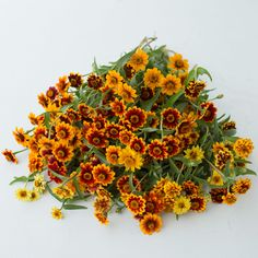 floret_zinnia_persian-carpet_670b6906