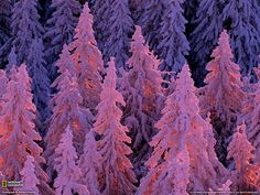 purple sunset trees in the winter
