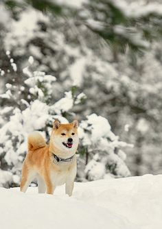 All Creatures Great and Small: Shiba in winter Cute Puppies, Dogs And Puppies, Pet Dogs, Dog Cat, Japanese Dogs, Snow Dogs, Dog Breeds, Spitz Breeds, Beautiful Dogs