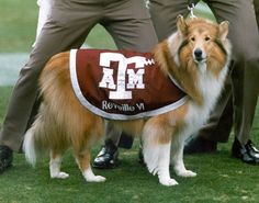 """Reveille:  The first lady of Aggieland and the official mascot of Texas A University. She is the highest ranking member of the Corps of Cadets being the only bearer of five silver diamonds. Reveille I came to Texas A in January 1931. A group of cadets hit a small black and white dog on their way back from Navasota. They picked up the dog and brought her back to school so they could care for her. The next morning, when """"Reveille"""" was blown by a bugler, she started barking. She was named after..."""