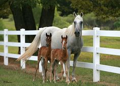 Imperial Mistaar Twins !!! :: Arabian Horses, Stallions, Farms, Arabians, for sale - Arabian Horse Network, www.arabhorse.com