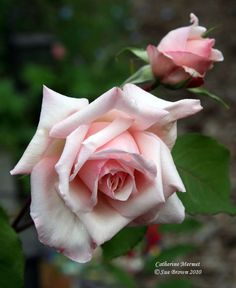 Catherine Mermet rose.  Bred in France 1969.  Light pink tea rose with a very strong fragrance.