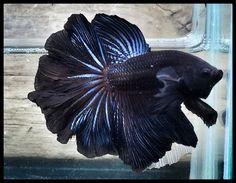 AquaBid.com - Grand black HM. 549***