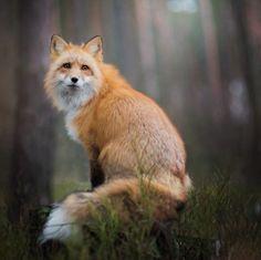The Beauty of Wildlife: Fox by Iza Lyson 500px